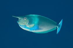 BD-131210-St-Johns-1097-Naso-brevirostris-(Cuvier.-1829)-[Spotted-unicornfish].jpg